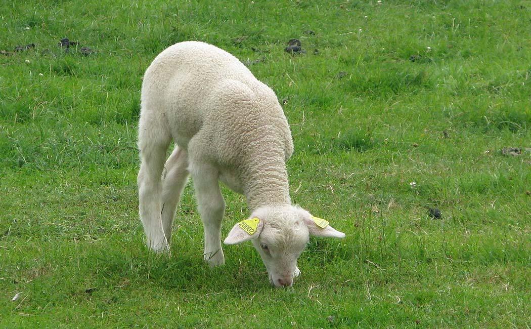 Les races ovines en Périgord
