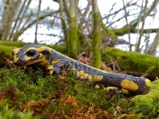 salamander-salamandra-salamandra