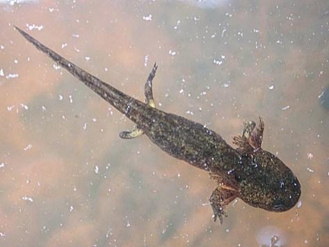 Larve de salamandre