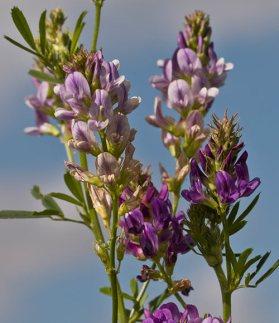 Grasada-luzerne-en-fleur