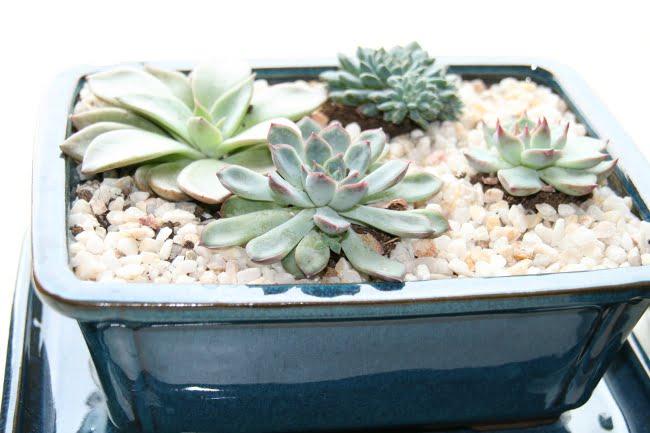 planter des succulentes et des plantes grasses en intérieur