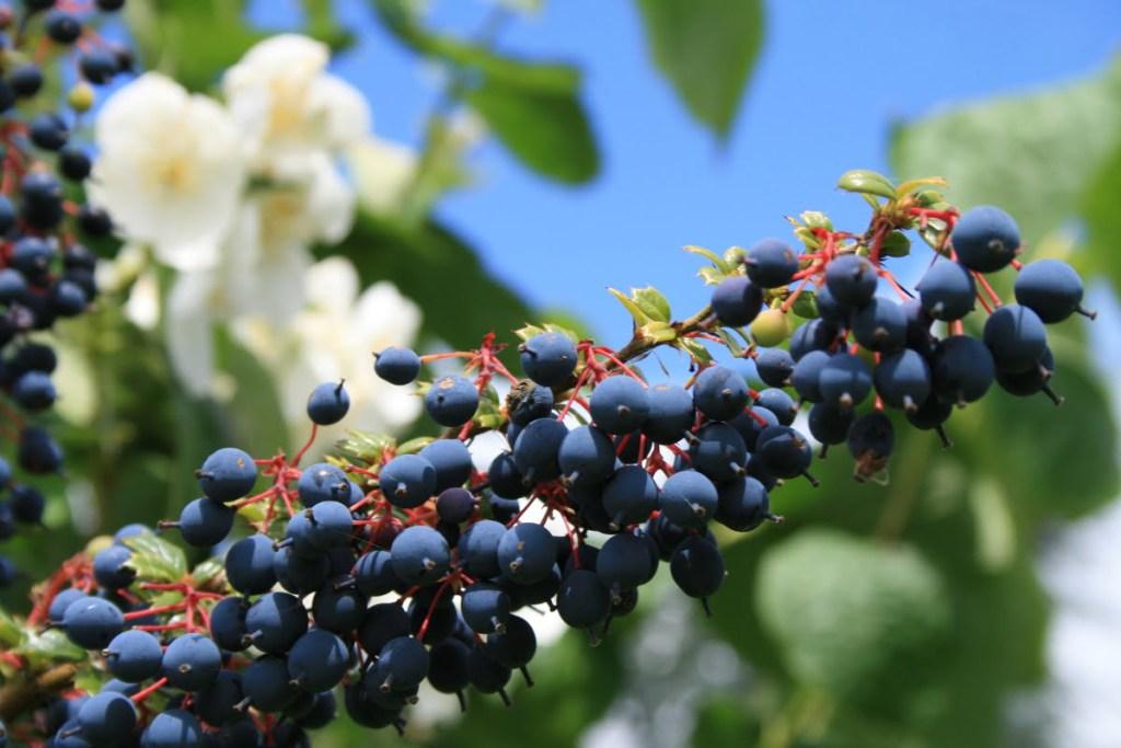 epine vinette fruits