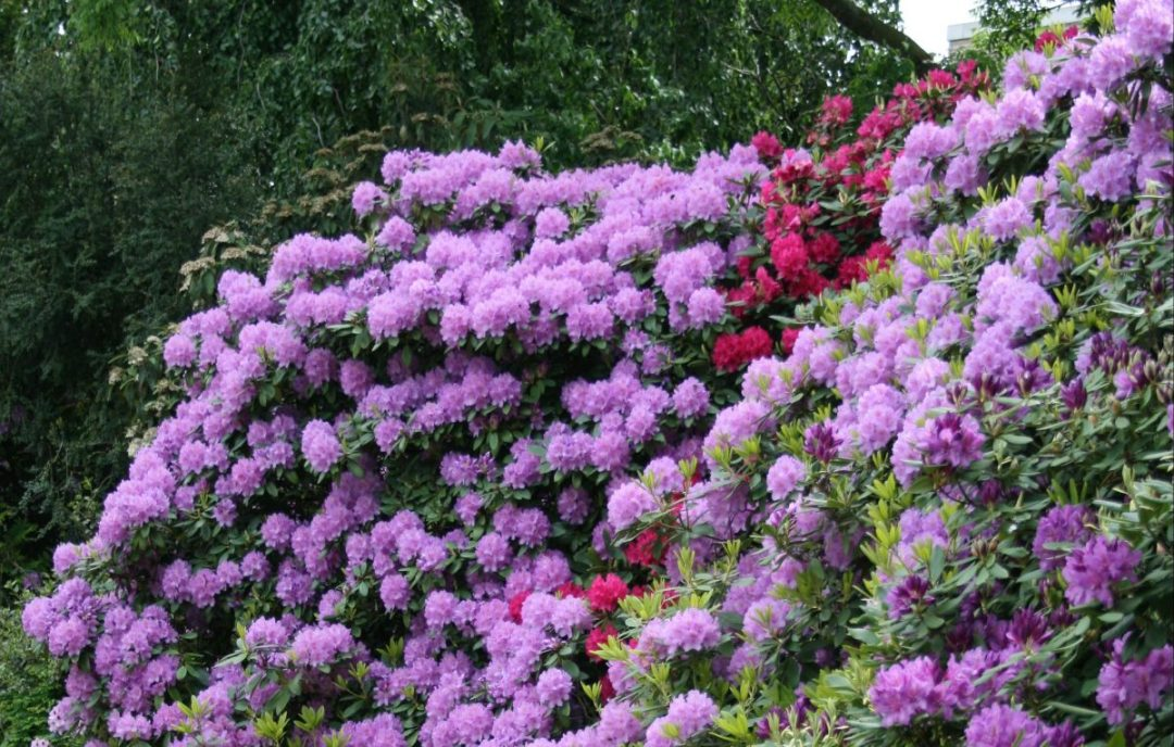 rhododendrons
