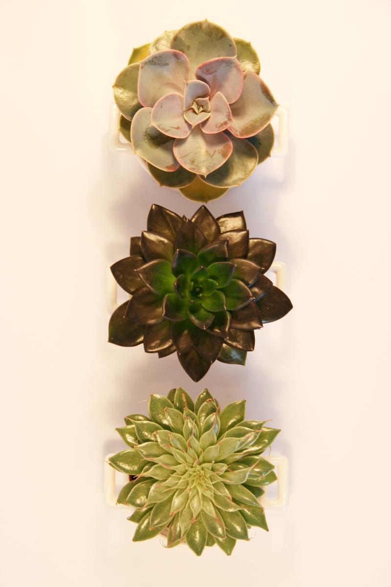 succulentes et plantes grasses