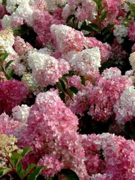 hortensia-panicule-vanille-fraise-