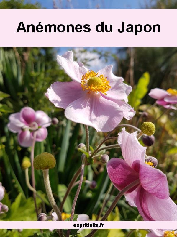 anémones du japon