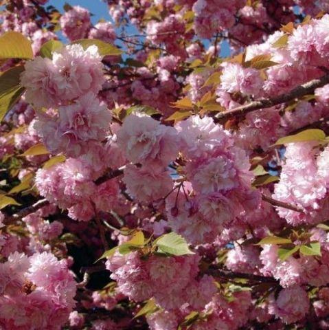 Prunus-serrulata-Kanzan-