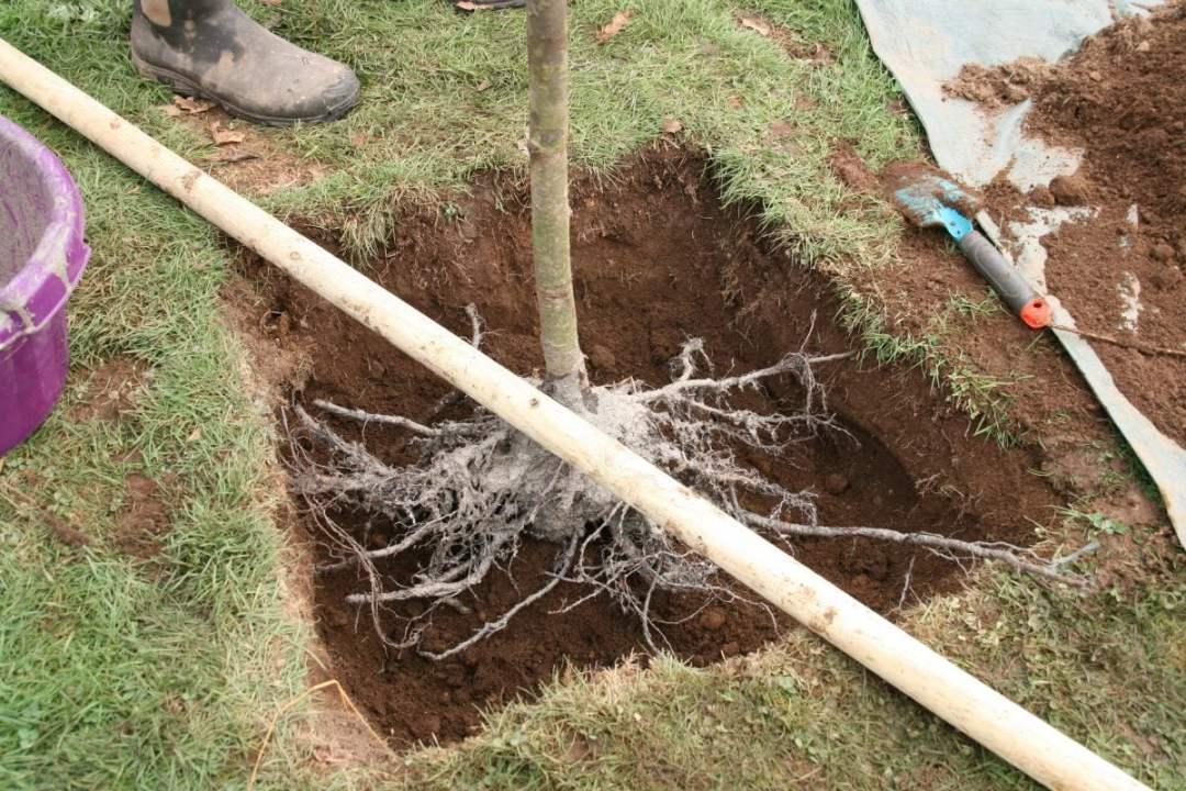 plantation cerisier fleur niveau