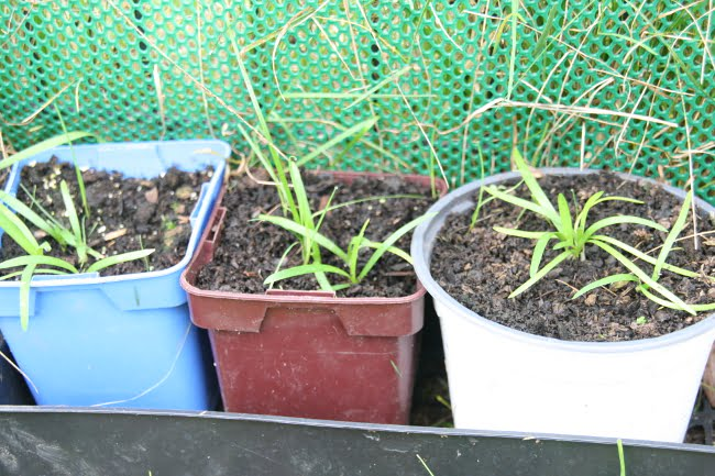 semis agapanthe blanche