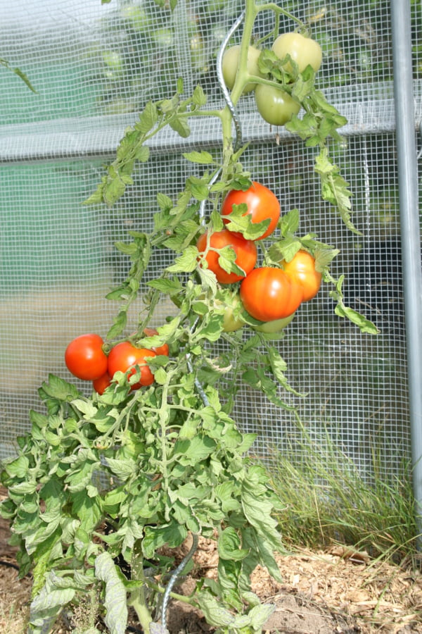tomates sous tunnel bretagne