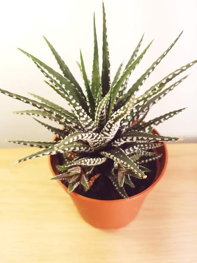 Haworthia attenuata - reconnaitre les plantes grasses et les succulentes