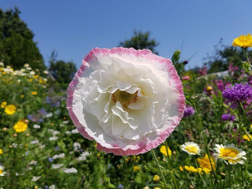 la mini prairie fleurie du jardin d'esprit Laïta - Pavot