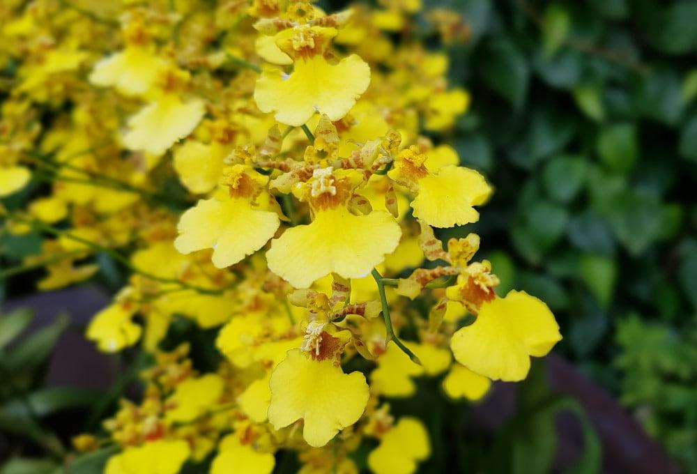 Jardin orchidées Singapour - Oncidium Goldiana