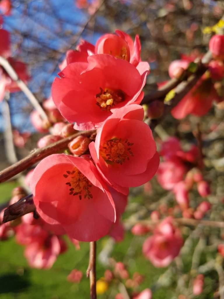 visite du jardin en janvier - cognassier japonais