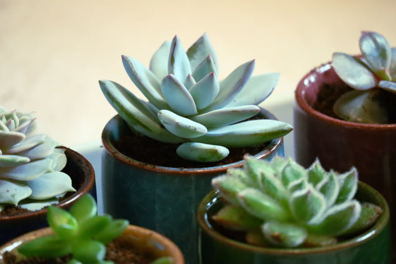 Boutures de succulentes rempotées