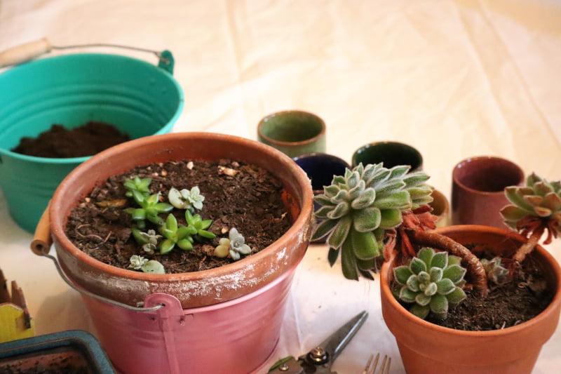 Boutures de plantes grasses et succulentes