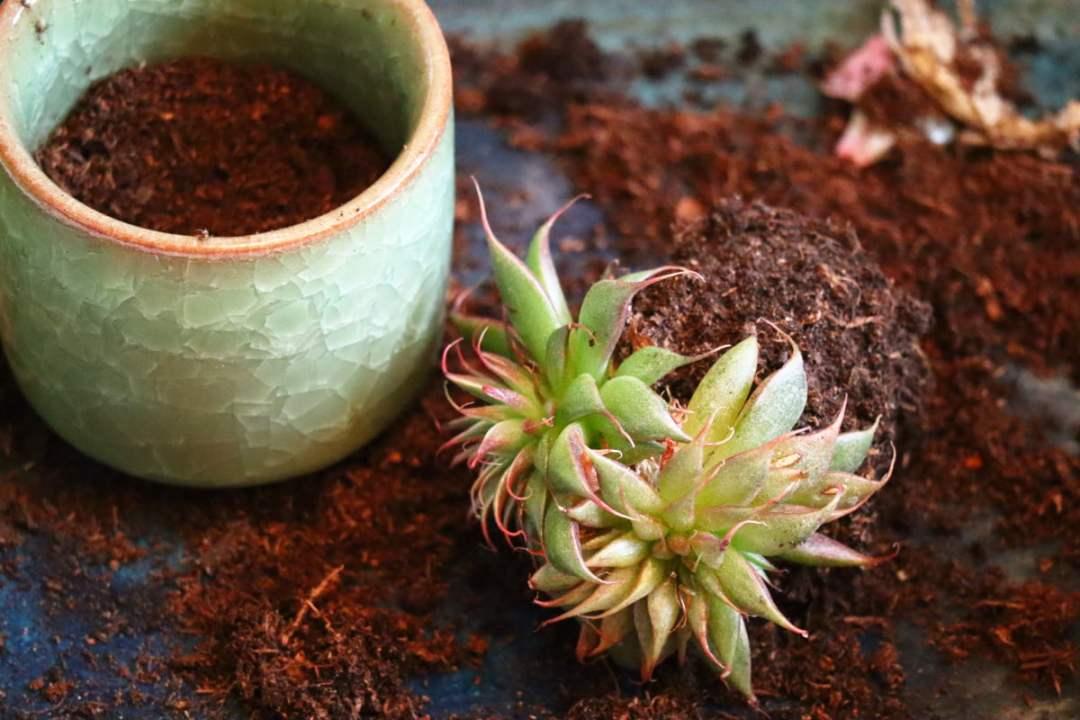 rempotage facile de boutures de succulentes