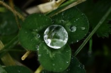 Rain drop on clover leaf