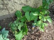 Den Kürbis müssen wir sobald als möglich umpflanzen..