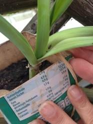 Lauchfressende Lauchkäfer: zur Bekämpfung haben wir über die Pflanzen im Beet ein Vlies gelegt.
