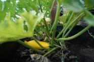 ...noch mehr gelbe Zucchini