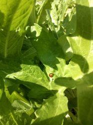 Marienkäfer fressen uns die Läuse von den Artischocken