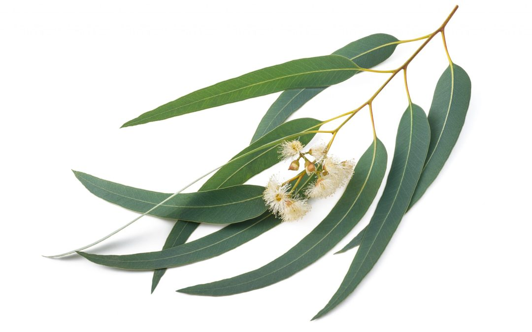 Eucalyptus  – It is the season of cold and flu…