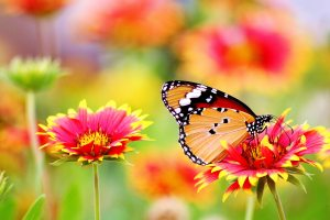 A monarch butterfly sits atop a red and yellow flower