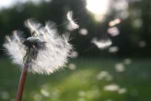 A dandelion head losing its seeds to the wind