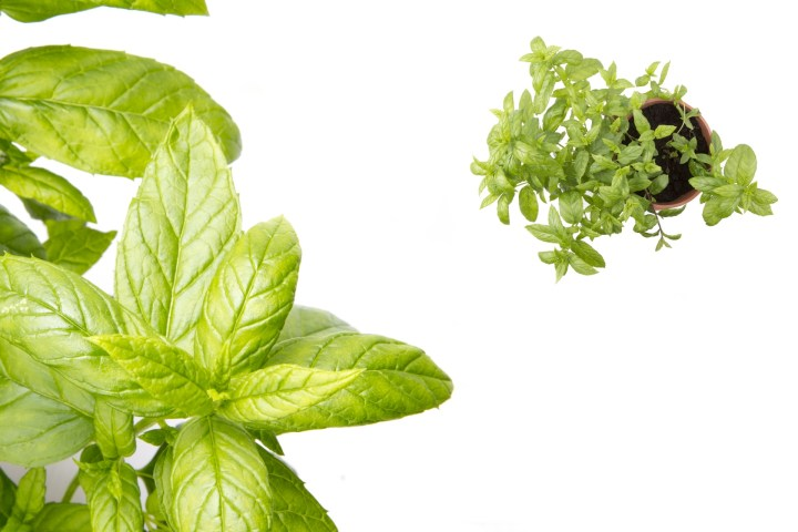 Why use Peppermint Essential Oil