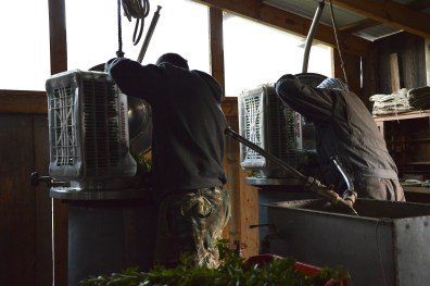 Feeding the fresh myrtle into the stainless steel distillery units