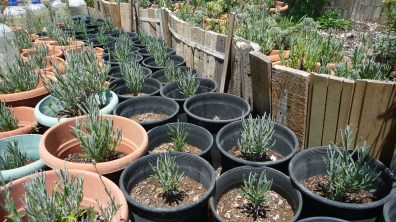 Lavender cuttings at the special nursing area