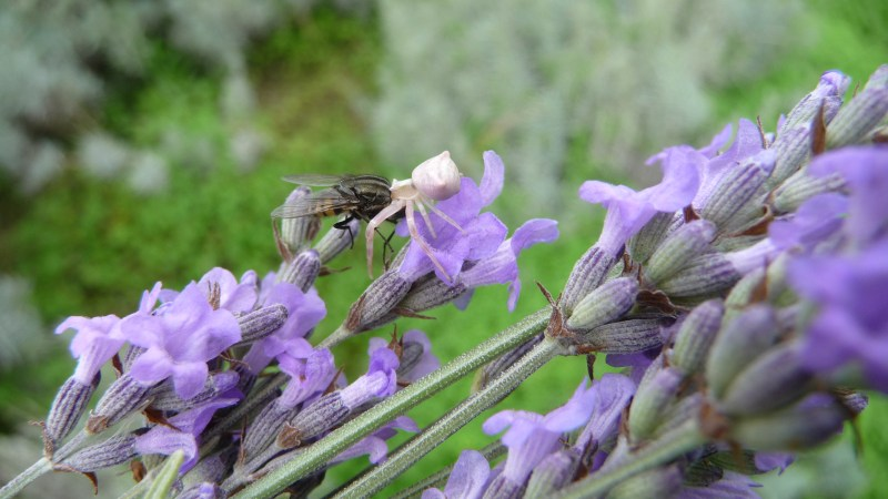 Fight for survival at the organic lavender farm