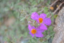 Rock Rose, Cistus creticus