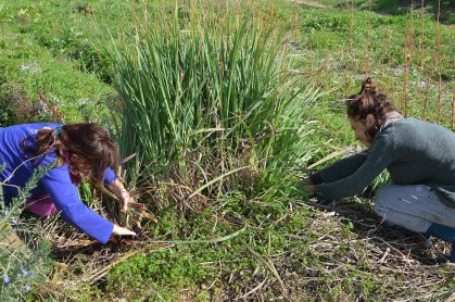 Lemongrass harvest is a sweet act in shiny company