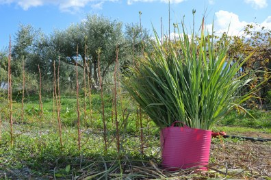 Pick of the day: Indian lemongrass in Crete