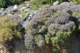 Large Cretan thyme shrub spreading around