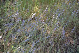 Pennyroyal (Mentha pulegium) in the area, West-Crete