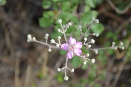 Pink blackberry flower (Rubus fruticosus) or bramble. Beauty with thorns!