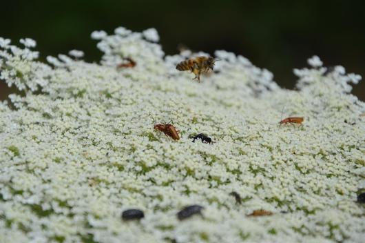 Amazing wildlife on the wild carrot flower (Draucus carota)