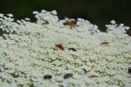Amazing wildlife on the wild carrot flower (Draucus carota)