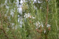 White flowered rosemary