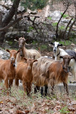 And the wild goats stop for a team picture