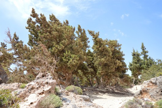 Juniper trees are shaped by the strong wing in the area.