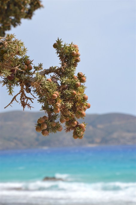 Juniper berries with the colours of the sea