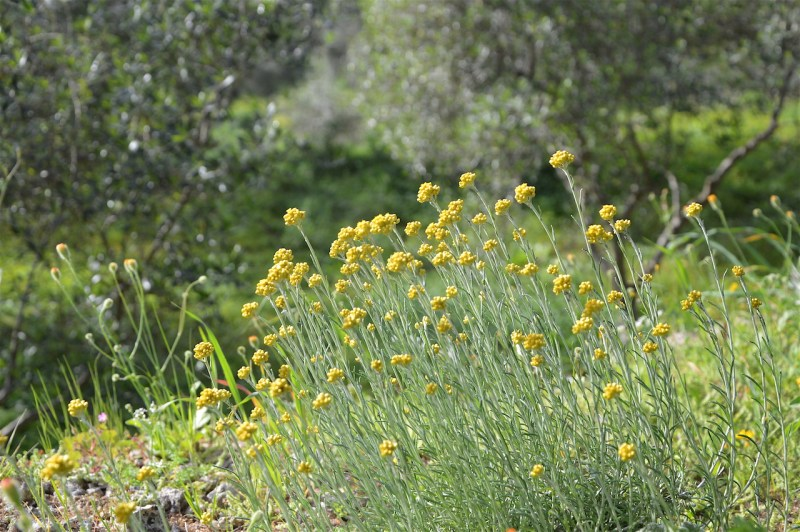 Helicrysum Italicum ssp. at Manolis' farm on Crete, March 2016