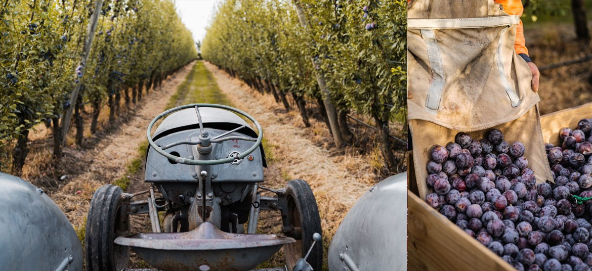 Rullo Farms harvest of Queen Garnet Plums in Shepparton, Victoria