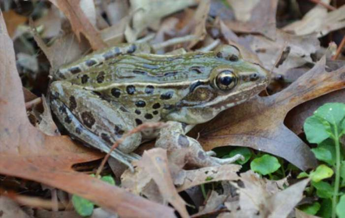 Volunteers needed for citizen science project to help newly discovered frog species