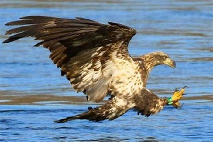 DEP reports record number of bald eagle nests, with eagles confirmed in all 21 counties
