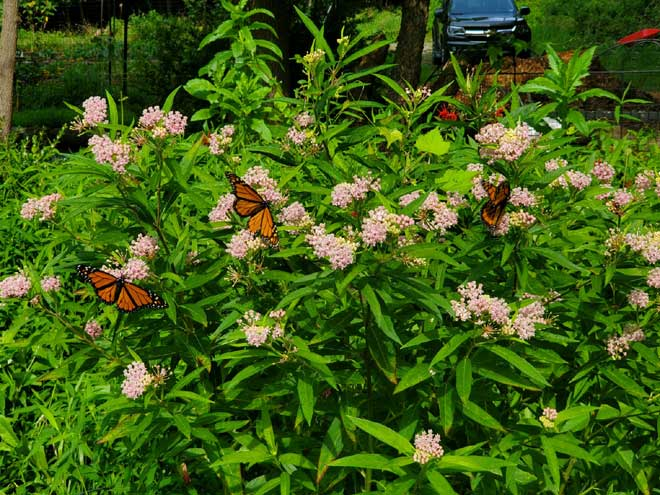 Help the planet from your own yard by planting milkweed